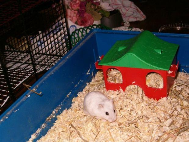 Laboratórna myš